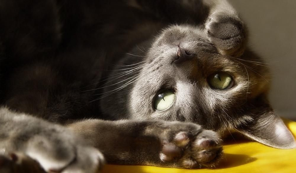 Ушной клещ первые признаки. Откуда берется и как проявляется ушной клещ у кошки